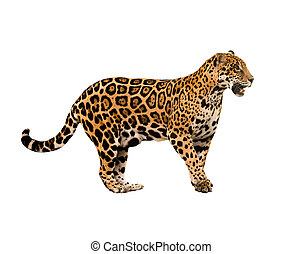 jaguar panthera onca isolated on white backgrond
