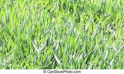 winter wheat field in spring