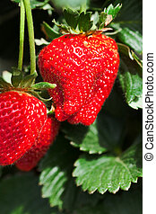 ripe strawberries on a plant ready for picking