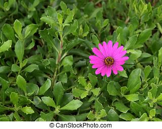 Purple daisy in lush foliage - A single purple daisy in...