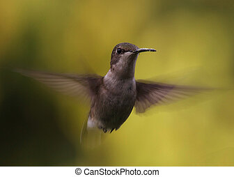 Humming Bird - Female Ruby Throated hummingbird in flight.
