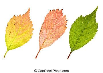 Autumn sakura leaves - Fresh autumn sakura leaves isolated...