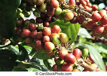 Coffee Tree Branches - Coffee tree branches filled with...