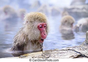 Macaque baths in hot springs in Nagano, Japan.