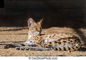 Serval - The Serval, Leptailurus serval, is a nocturnal cat...