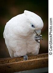 Cockatoo - A White Cockatoo