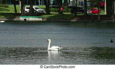 Swans in Lake Eola Park - View of the lake with its swans...