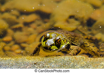 Northern Green Frog in Water - Head of northern tree frog...