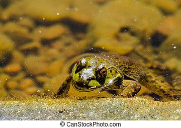 norteño, verde, rana, agua