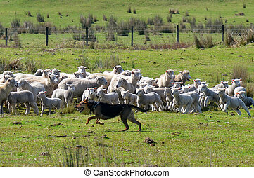 Herding dog - KARIKARI, NZL - SEP 03 2014:Herding dog during...