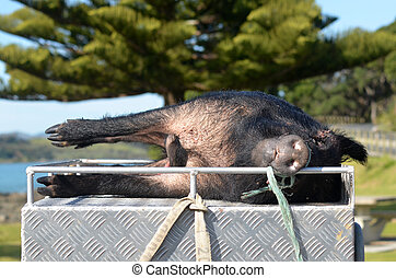 Hunted Wild Pig - TAIPA, NZL - SEP 03 2014:Hunted Wild...