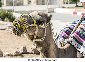 Dromedary - Arabian camel or Dromedary also called a...