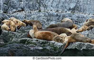 Patagonian sea lion colony, Beagle - Colony of Southern or...