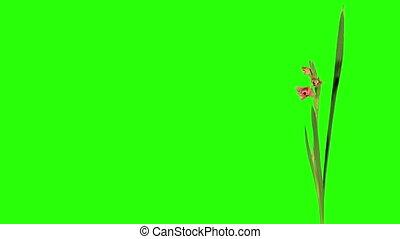 Blooming pink gladiolus