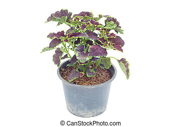 Coleus in a pot isolated on white background