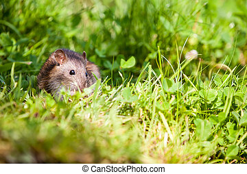 nature whit rat - an rat eating in the grass of the park
