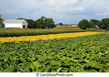 Pennsylvania Tobacco Field - Green tobacco,yellow tobacco...