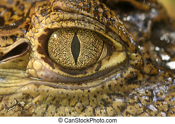 Crocodile eye - Close up of a crocodile eye