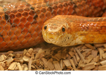Corn Snake close up with detail