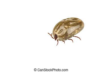 Female tick isolated on white background - Female tick...