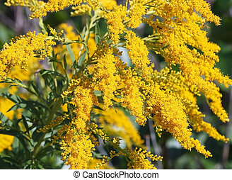 Goldenrod - Bright yellow flowers of the Goldenrod....