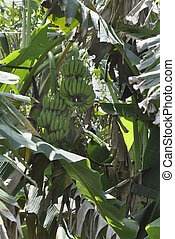 Banana Musaceae acuminata - Blooming here in the countryside...