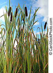 Reeds on blue sky background