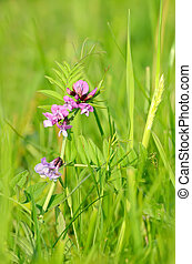 Vicia cracca flower - Vicia cracca wild flower on the field