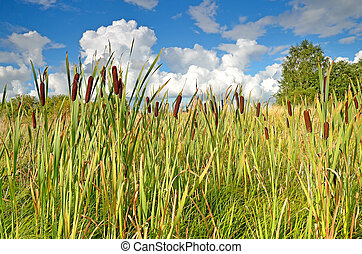 Reeds - Thickets of reeds
