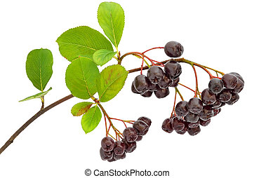 Black chokeberry (Aronia melanocarpa) isolated on a white...