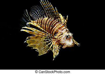 Red lion Pterois miles fish on black background