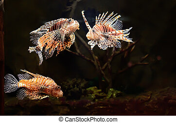 Red lion Pterois miles fish in aquarium