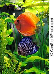 Orange and blue discus fish in the aquarium