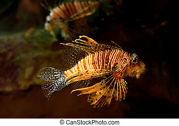Red lion Pterois miles fish in an aquarium