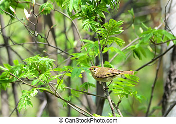 Red-eyed Vireo bird on the branch