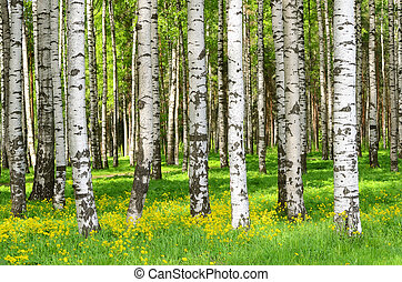 Birch trees in the spring park