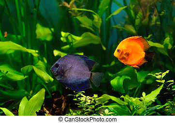 Discus fish in the aquarium - Blue and red discus fish in...