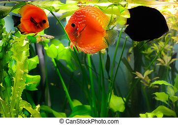 Discus fishes in the aquarium
