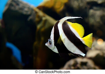 The pennant coralfish Heniochus acuminatus in the aquarium