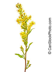 Goldenrod (Solidago virgaurea) flower isolated on white...