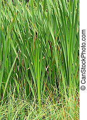 Reeds in the swamp