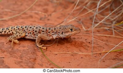 Lizard in the Canyon - lizard in the canyon under thick...