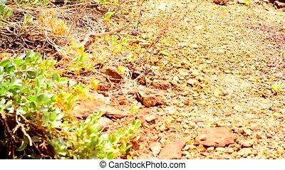 Lizard in the Canyon - lizard walking towards the camera