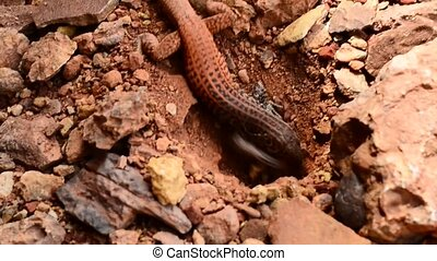 Lizard in the Canyon - small lizard digging a hole in the...