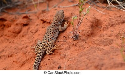 Lizard in the Canyon - Close-up of lizard on a red sand