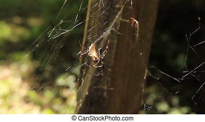 Two Banana Spiders Sharing a Meal of the same insect in the...
