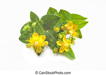 St Johns wort isolated - Common St Johnswort flower isolated...