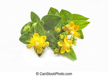 St Johns wort isolated - Common St. Johnswort flower...
