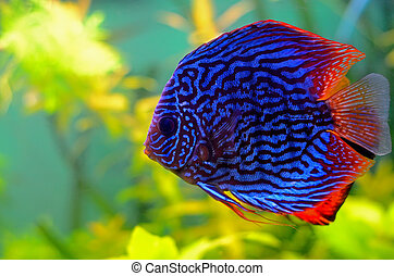 Blue discus fish in the aquarium
