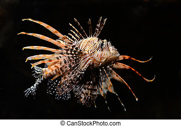 Red lion fish on black background - Red lion Pterois miles...